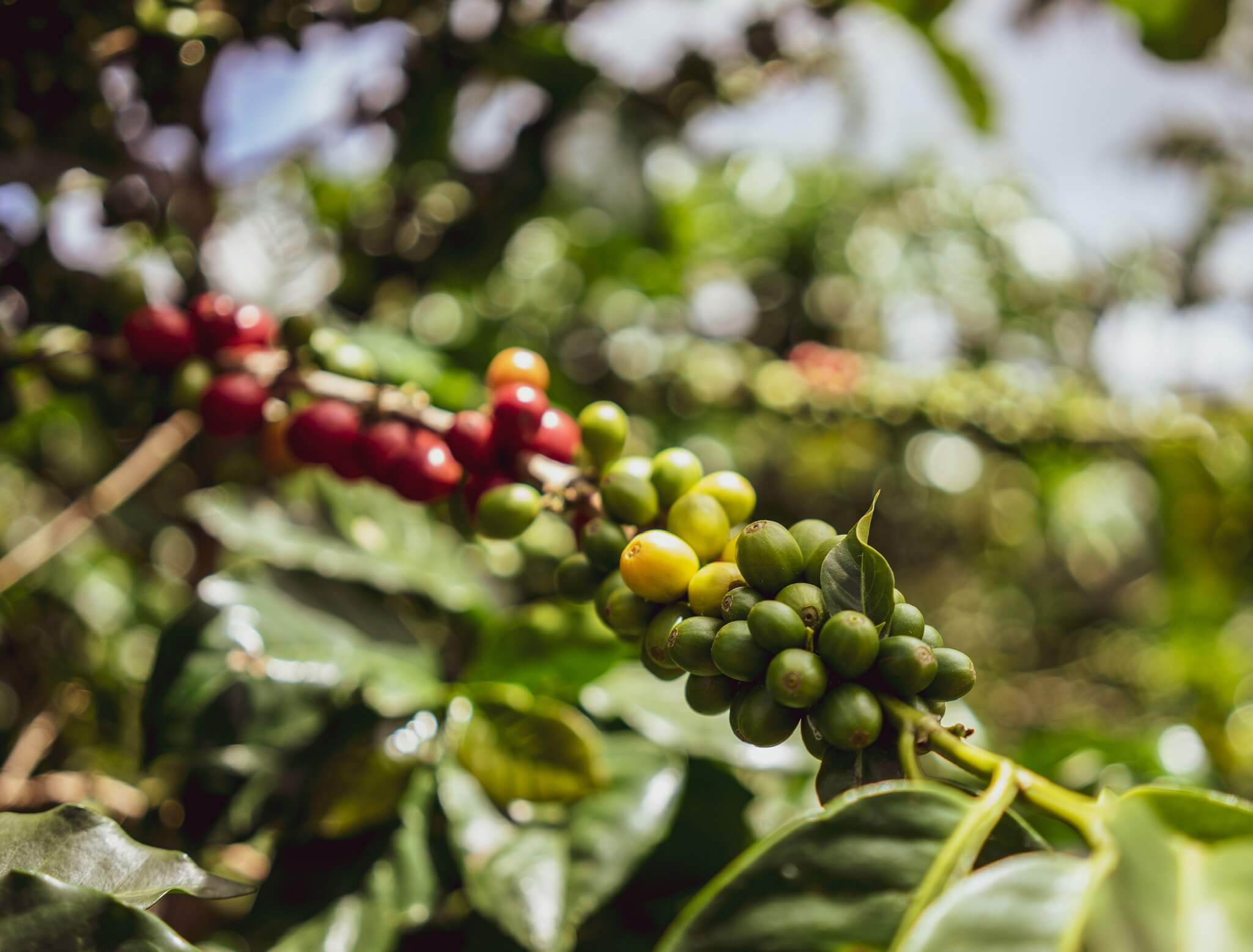 ripe specialty coffee beans Yauco Puerto Rico