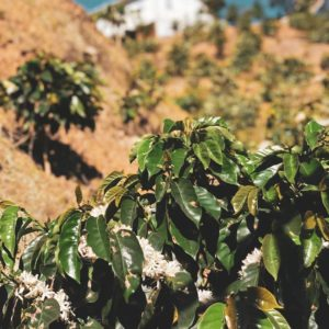 Close up view of arabica coffee plant overlooking a farm from Yauco Puerto Rico