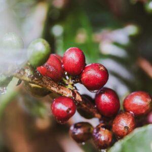 Best Coffee from Puerto Rico Gustos Café PR Ripe Cherries