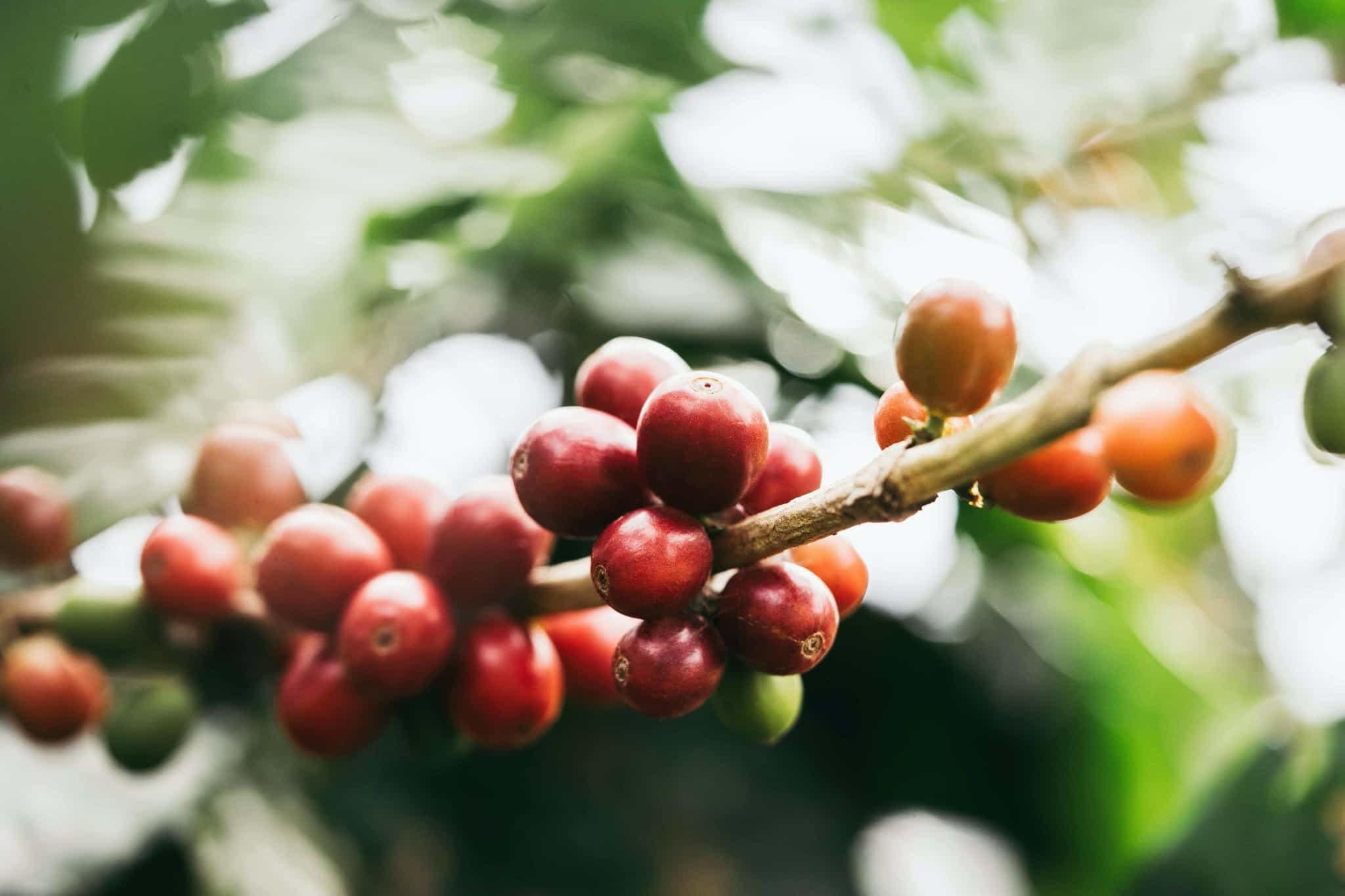 Gustos Specialty Coffee , Taza de Oro, Finca La Montaña Yauco, PR