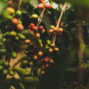 Gustos Puerto Rican Coffee Yauco PR Farm